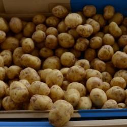 Pommes de terre nouvelles -...