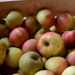 Pommes Elstar BIO - 10 kg